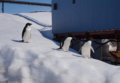 アデリーペンギンの画像 p1_10