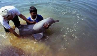 絶滅が危惧されるガンジスカワイルカ KDDI研究所が行う保護の取り組み